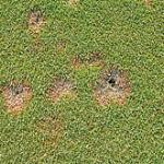 Bentgrass Dead Spot on a putting green