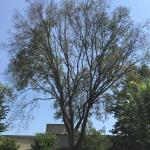 Mature American elm (Ulmus americana) in decline from Dutch Elm Disease.