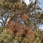 Needle and shoot blight caused by Diplodia sapinea on Ponderosa pine (Pinus ponderosa)