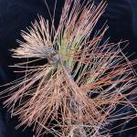 Shoot tip blight caused by Diplodia sapinea