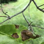 Fig. 2: Foliar lesions and twig dieback on a flowering dogwood (Cornus florida) with dogwood anthrancose.