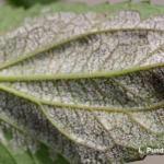 Downy mildew of rudbeckia