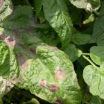 Late blight lesion on tomato.