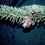 Many dead tips on a spruce tree that were caused by the attack of the Eastern spruce gall adelgid over the course of several years. (Photo: R. Childs)