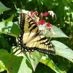 Eastern tiger swallowtail. Photo: T. Simisky.