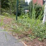 Barnyardgrass