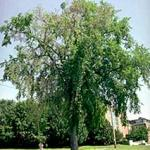 An American elm displaying flagging and being sampled for Dutch elm Disease. (Photo: R. Childs)
