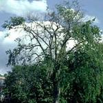 The same American elm, as in photo 1, in the second summer of infection with Dutch elm disease. At this point, it was too late to save the tree. (Photo: R. Childs)