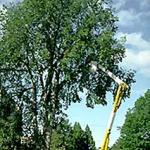 Using a bucket truck to sample yellow flags from high within the tree for analysis of Dutch elm disease. (Photo: R. Childs)