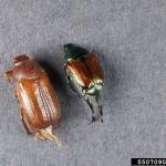 European schafer (left) and Japanese beetle (right). Photo: Bruce Watt, University of Maine, Bugwood.org