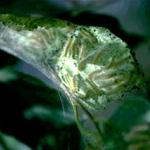 Several fall webworm caterpillars within their silken web feeding on the host plant foliage. (Photo: R. Childs)