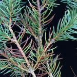 Diseased one- and two-year-old needles on a blue spruce (P. pungens). Needles on this host often appear purple before becoming brown to straw-colored.
