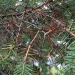 Fig. 4. Diseased needles in the canopy of a Colorado blue spruce (P. pungens).