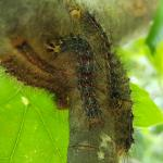 Fig. 3 - Gypsy moth caterpillars (Photo: T. Simisky)