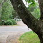 Fig. 6 - Dead gypsy moth caterpillars hanging from maple. Possible cause of death is either Entomophaga maimaiga or the NPV virus. (Photo: Ardis Johnston)