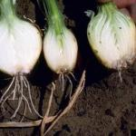 Fusarium basal rot in onion. Photo: H. Schwartz, Colorado State University, Bugwood.org