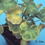 Iron and manganese toxicity due to low pH on geranium