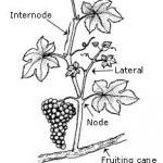 Grape Growth
