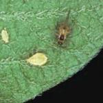 Green peach aphid winged adult female and nymphs