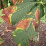 Dry, wrinkled orange-brown blotches typical of Guignardia leaf blotch on horsechestnut (Aesculus hippocastanum).