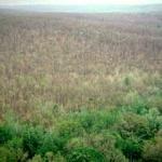 A large forested area that was defoliated by gypsy moth. (Charlie Burnham)