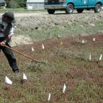 A hand-held rake can be used to prune small areas of cranberry vines