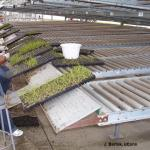 Hand transplanting in greenhouse