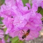 European honeybee. Photo: T. Simisky.