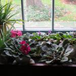 Houseplants (African violets, aloe) grown indoors
