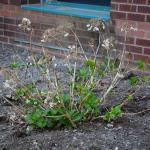 Hydrangea macrophylla growth in spring.