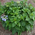 Hydrangea macrophylla without many blooms.