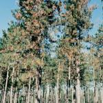 Diplodia shoot blight and canker on red pine (Photo: G. Stanosz)
