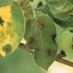 Fruiting structures on leaves and fruit (Photo: A. L. Jones)