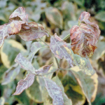 Powdery mildew in late summer on flowering dogwood (Photo: M. Daughtrey)