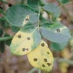 Leaf spots caused by Marssonina rosae  (Photo: A. S. Windham)