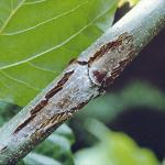 Bud blight and branch canker (Photo: J. R. Hartman)