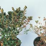 Healthy azalea (left) - Discolored/stunted growth on azalea with root rot (right) (Photo: D. M. Benson)