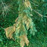 Early symptoms of Cytospora canker disrupting water and mineral transport