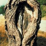 Several years old perennial Nectria canker with target patterned callus growth (Photo: R. L. Anderson)