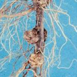 Crown galls on roots (Photo: A. K. Hagan)