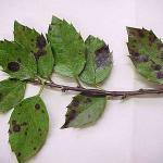 Holly leaf spot of undetermined cause (Photo: Gail Ruhl)