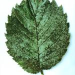 Sooty mold on elm leaf (Photo: R. J. Stipes)
