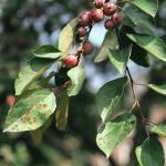 Brown velvety fruiting structures  (Photo: E. M. Dutky)