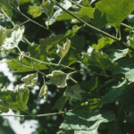 Chlorosis and cupping of leaves due to powdery mildew on London planetree (Photo: E. M. Dutky)