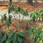 Wilt symptoms as Botryosphaeria canker disrupts water transport on established rhododendron (Photo: R. K. Jones)
