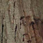 Bleeding on bark surface