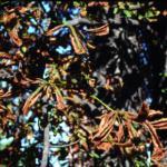Severe late summer leaf blotch on horsechestnut (Photo: M. Petitjean)