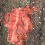 Zone lines in inner bark