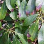 Pieris - leaf spots with diffuse margins