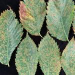 Figure 2: American elms leaves with numerous black spot lesions.